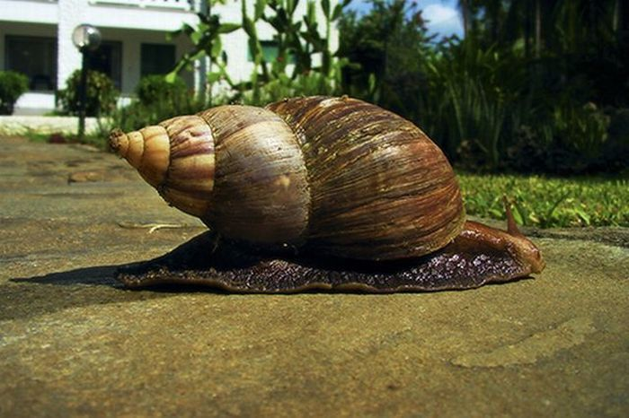 giant-african-land-snail